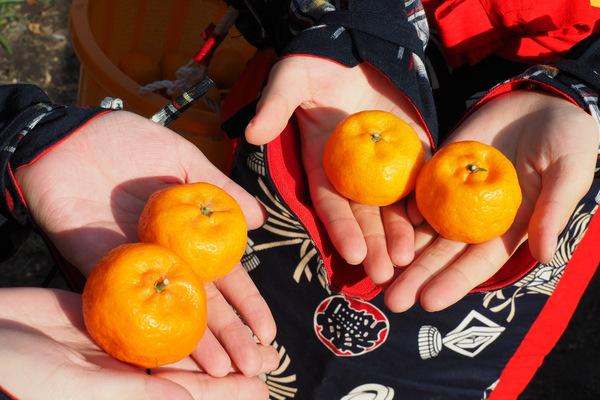 みかんは小つぶ、甘さは大つぶの桜島小みかん。