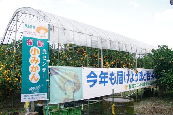 ハウス内の果樹園で大切に育てられた桜島小みかん