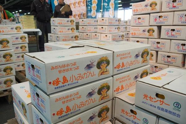 桜島小みかんのキャッチコピーはおなじみの「みかんは小つぶ甘さは大つぶ」