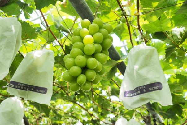 糖度抜群の桜島産シャインマスカット